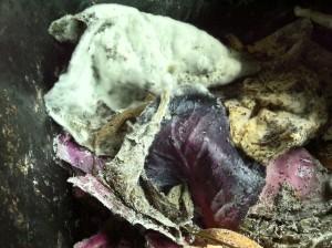 Characteristic of Bokashi, a fuzzy white mold smells slightly sweet.