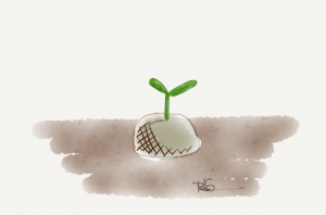 A cotyledon emerges.