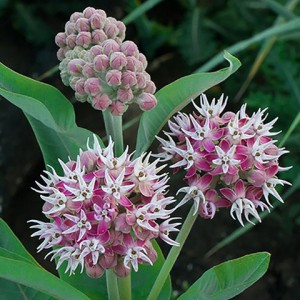 Showy Milkweed, <em>Asclepias speciosa</em> produces large stunning flowers its third year. It is native to the American Central Prairies and West.