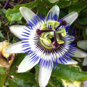 LovePlants_0003_Passiflora_caerulea_(Borizu_beach,_Llanes,_Asturias)