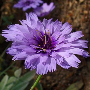 Cupid's Dart, Catananche caerulea, is a member of the Aster family, and has been used in sympathetic love magic.