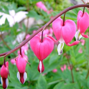The Bleeding Heart (Lamprocapnos spectabilis) is a native wildflower in the Eastern US. It's association with love comes from it's resemblance to a heart.