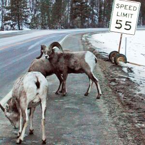 Bighorn Sheep licking road salt. USDA image.