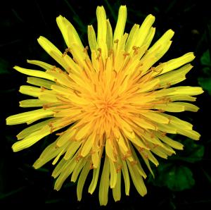 Dandelion, Taraxacum officinale, stimulates mucosal membranes and regulates female hormones.