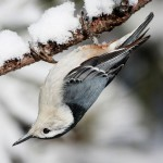 White Breasted Nuthatch feeds upside down on trees and the stems of plants. Its winter diet is dominated by seed. When it warms up, they love insects.