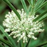 Milkweed is great for wildflower seed balls