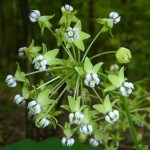 Poke Milkweed is great for wildflower seed balls