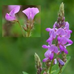 Showy Tick Trefoil is great for wildflower seed balls