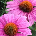Purple Coneflower is great for wildflower seed balls