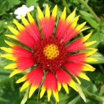Indian Blanketflower is great for wildflower seed balls