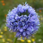 Globe Gilia is great for wildflower seed balls