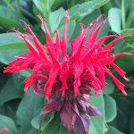 Bee Balm is great for wildflower seed balls