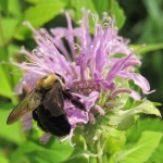 Bergamot is great for wildflower seed balls