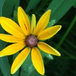 Brown-Eyed Susan is great for wildflower seed balls