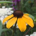 Rudbeckia triloba is great for wildflower seed balls
