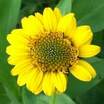 Bush Sunflower is great for wildflower seed balls