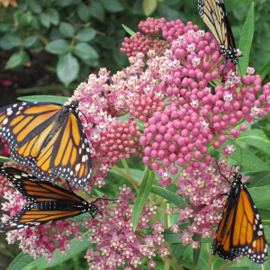 Monarchs LOVE Swamp Milkweed (<em>Aslcepias incarnata</em>) if you have rich soil and moderate to wet conditions, this is the one to grow! It's native to most of the continental US, except the West coast.
