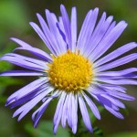 New England Aster is great for wildflower seed balls