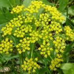 Zizia Aurea is great for wildflower seed balls