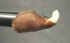Dormancy broken! An Asclepias tuberosa seed germinates in 24 hours of treatement